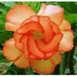 Adenium Obesum Double Flower Orange City (растение)