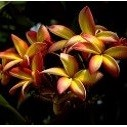 Plumeria Jutamath (семена)