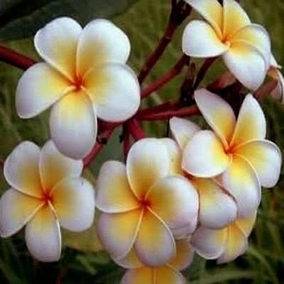 Plumeria Ladavan (семена)