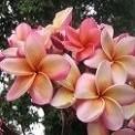 Plumeria India (семена)