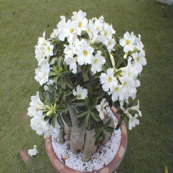 Adenium Obesum Desert Rose STAR STUDDED SKY (семена)
