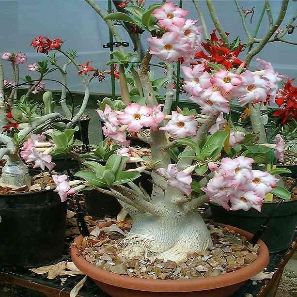 Adenium Arabicum YAK YEMEN (семена)