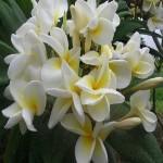 Plumeria Henry Apple Dupree (растение)
