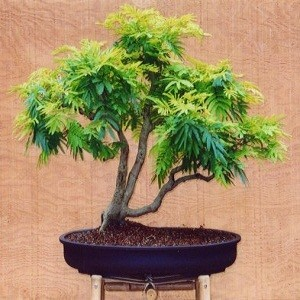 Acacia BAILEYANA или Золотая Мимоза (семена)