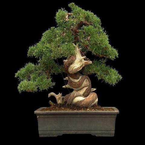Juniperus Chinensis или Можжевельник Китайский (семена)