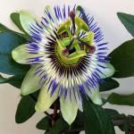 Passiflora Caerulea или Пассифлора Голубая
