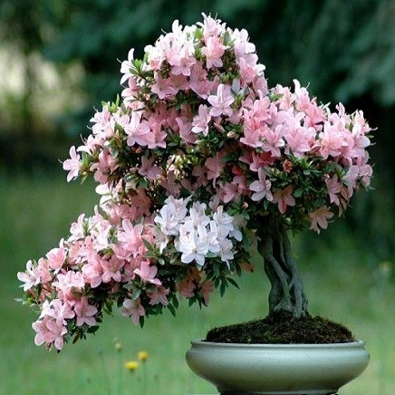 Prunus Serrulata или Сакура (семена)