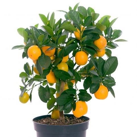 Цитрофортунелла Каламондин (растение)