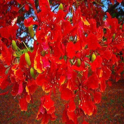 Делоникс Королевский (растение)