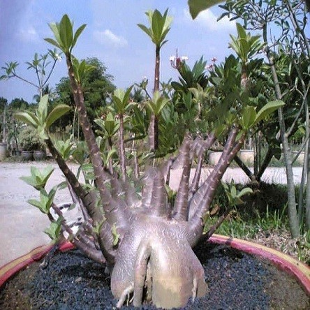 Adenium Arabicum DWARF BLACK KNIGHT (семена)