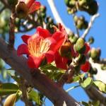 Bombax Ceiba или Красное Шелковое Дерево