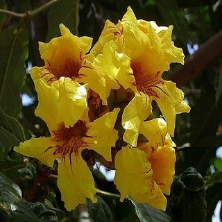 Markhamia Lutea или Тюльпанное Дерево