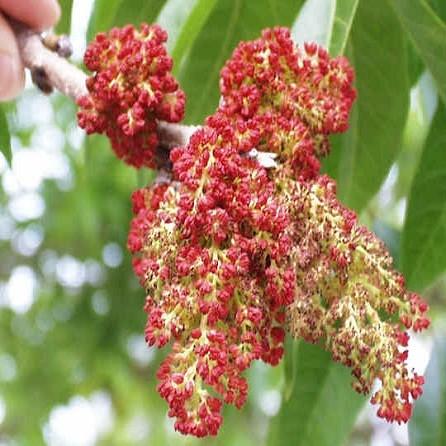 Pistacia Chinensis или Фисташка Китайская (семена)