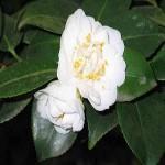 Camellia SINENSIS или Камелия Китайская