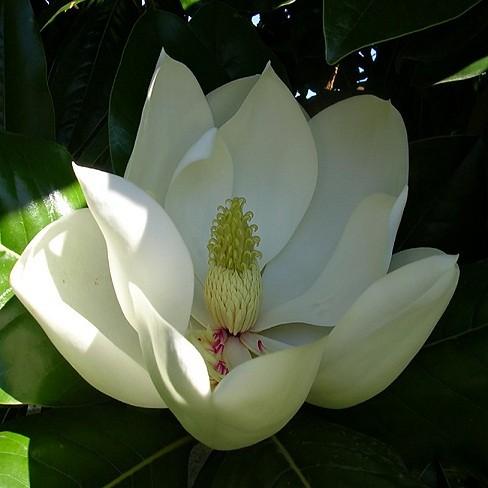 Magnolia Grandiflora или Магнолия Крупноцветковая (семена)