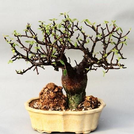 Bursera HINDSIANA или Бурсера Хиндса (семена)