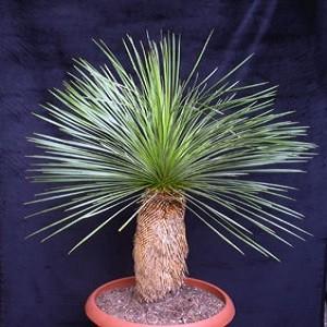 Dasylirion LONGISSIMUM или Дазилирион Длиннейший (семена)