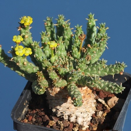 Euphorbia CAPUT - MEDUSAE или Молочай Голова Медузы (семена)