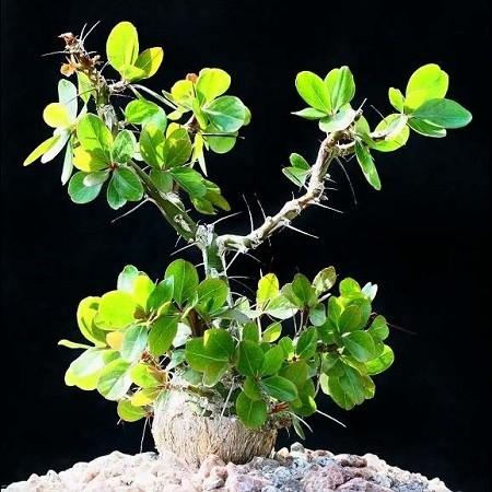 Idria COLUMNARIS или Идрия Колонновидная (семена)