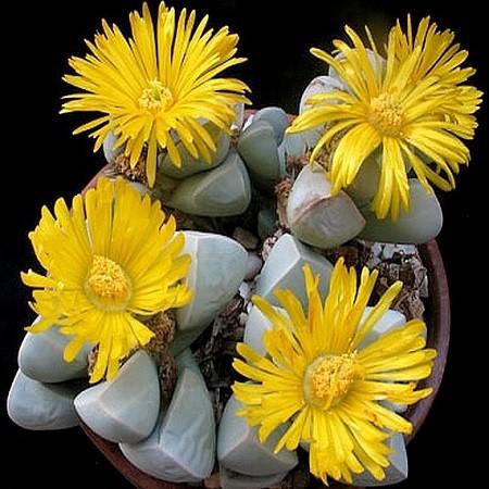 Lapidaria MARGARETAE или Лапидария Маргариты (семена)