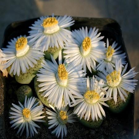 Lithops FULVICEPS или Литопс Рыжеголовый (семена)