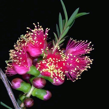 Melaleuca FULGENS или Мелалеука Яркая (семена)