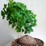Dioscorea ELEPHANTIPES или Диоскорея Слоновая