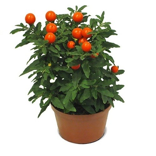Соланум (растение)