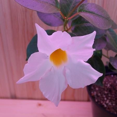 Мандевилла Сандера Белая (растение)