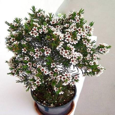 Хамелациум (растение)