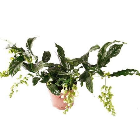 Клеродендрум Валичи (растение)