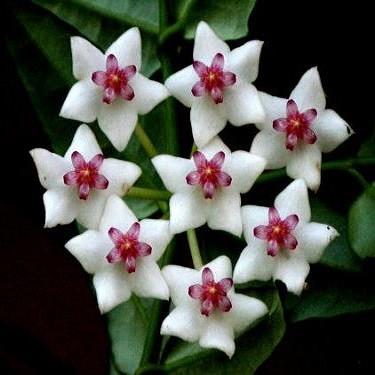 Хойя Прекрасная (растение)