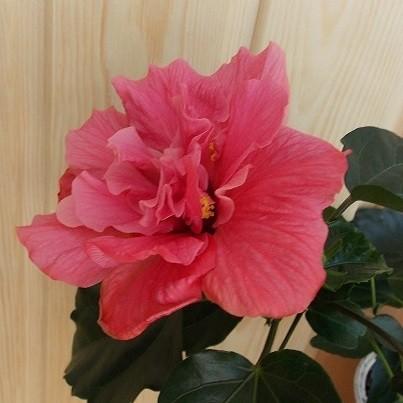 Гибискус Махровый Алый (растение)