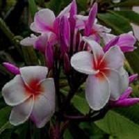 Plumeria INTIRA (семена)