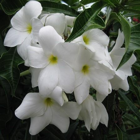 Plumeria RAMO DE NOVIA (семена)