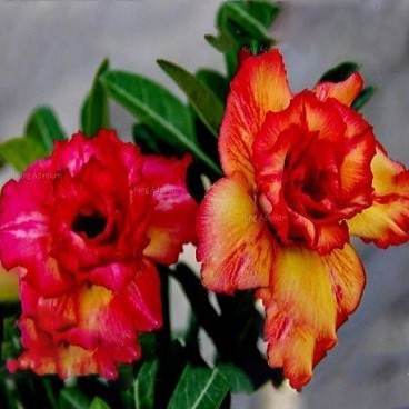 Adenium Obesum Triple Flower ORANGE CHAMELEON (семена)