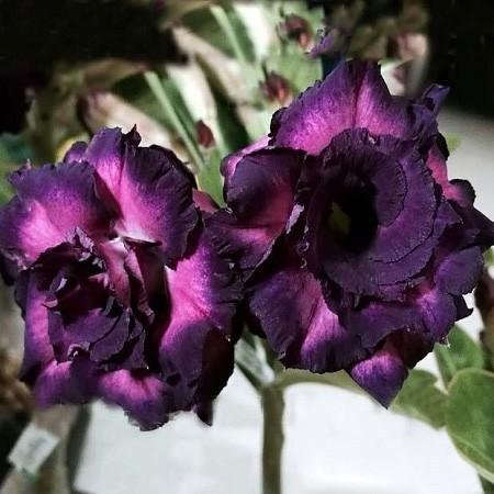 Adenium Obesum Triple Flower PURPLE ALOHA (семена)