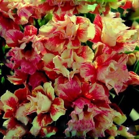 Adenium Obesum Double Flower SEXY CREAM 2 (семена)