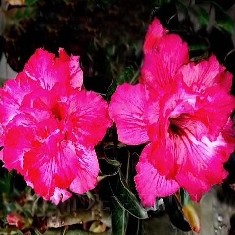 Adenium Obesum Triple Flower EXPRESS LINES (семена)