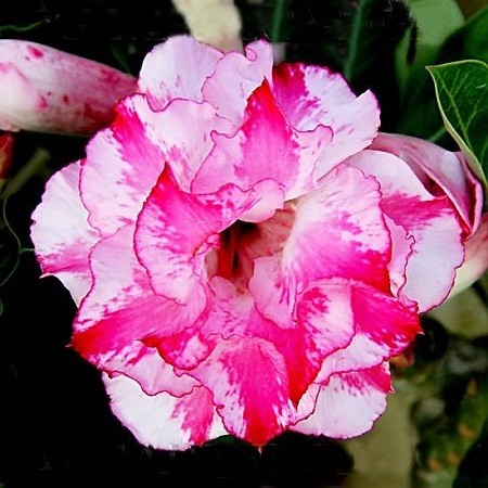Adenium Obesum Triple Flower LOTUS AROMA (смена)