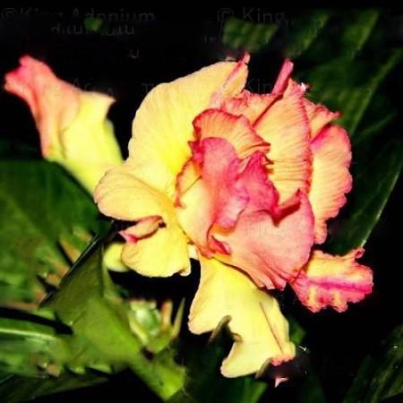 Adenium Obesum Triple Flower NOADAIH (семена)