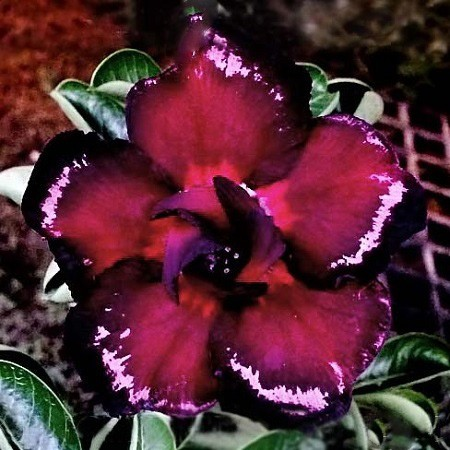 Adenium Obesum Double Flower BLACK & WHITE (семена)