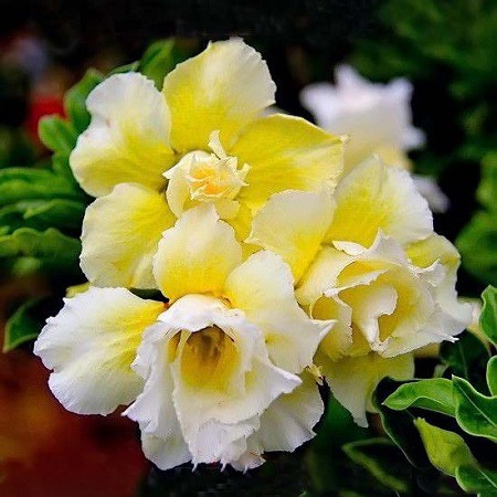 Adenium Obesum Double Flower YELLOW DIAMOND (семена)