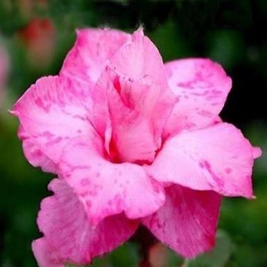 Adenium Obesum Triple Flower PINK DALMATIAN (семена)