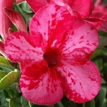 Adenium Obesum Desert Rose PINK DALMATIAN (семена)