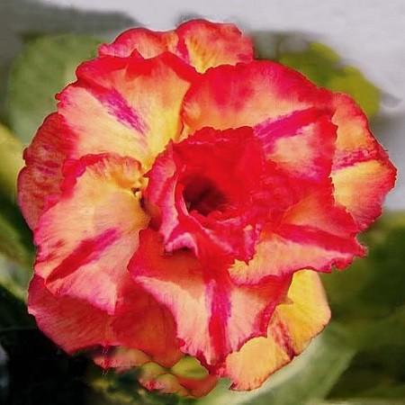 Adenium Obesum Triple Flower JUPITER GLOW (семена)