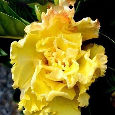 Adenium Obesum Quintuple Flower YELLOW ROSE (семена)