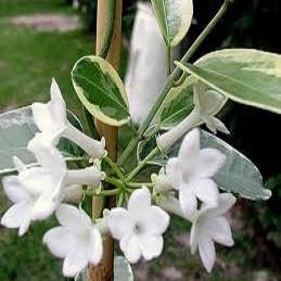 Стефанотис Обильноцветущий Вариегатный (растение)