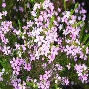 Диосма - Розовое Дыхание Неба (растение)