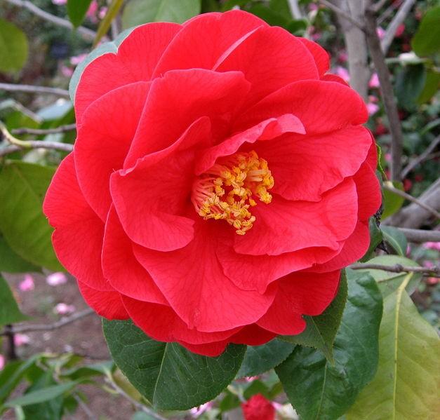 Камелия Японская Розовая (растение)
